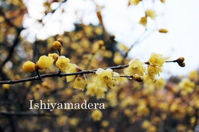 石山寺1月の花だより