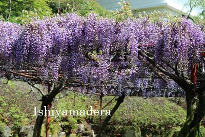 石山寺 5月の花だより