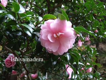 20091116-2山茶花.JPG