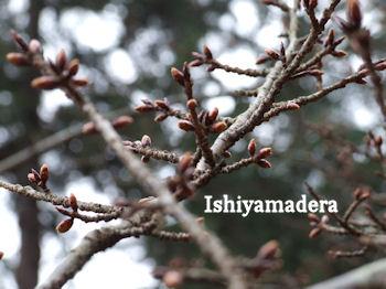 20100112-5桜.jpg