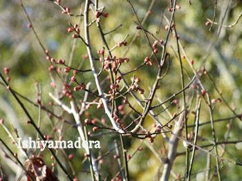 20100114-2第1梅園寒紅梅.jpg