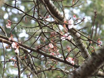 20100120-7桜2.jpg