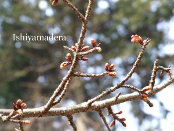 20100120-8桜2.jpg