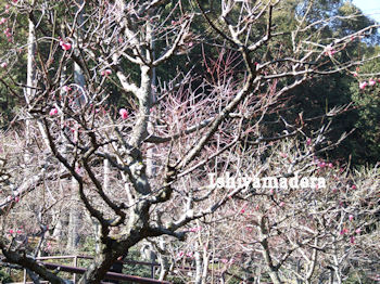 20100127-3第2梅園.jpg