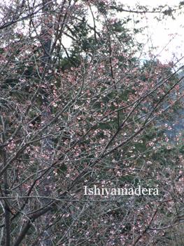 20100220-10彼岸桜.jpg