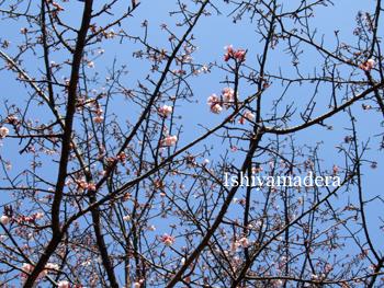 20100220-11彼岸桜.jpg