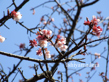20100220-12彼岸桜.jpg