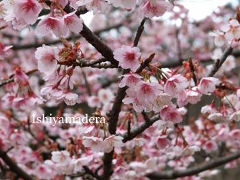 20100305-3桜.jpg