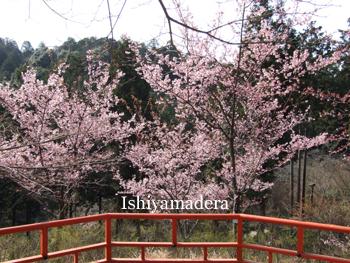 20100311-2ヒガンザクラ.JPG