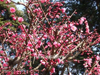 20100311-5第2梅園.JPG